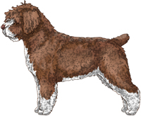 Brown & White Spanish Water Dog