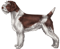 Brown and White Wirehaired Pointing Griffon