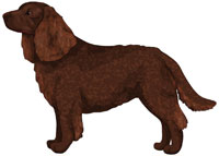 Brown American Water Spaniel