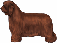 Brown Bearded Collie