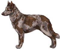 Brown Merle Mudi