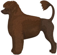 Brown Portuguese Water Dog