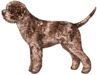 Brown Roan Lagotto Romagnolo