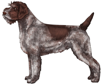 Brown Roan Wirehaired Pointing Griffon
