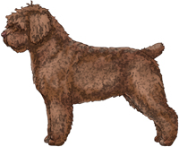 Brown Spanish Water Dog