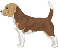 Brown White & Tan Beagle