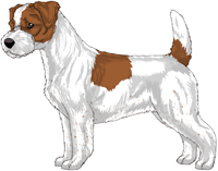 Brown and White Rough Coat Jack Russell Terrier
