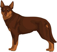 Brown w/Tan Points Australian Kelpie