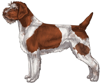 Chestnut and White Wirehaired Pointing Griffon