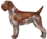 Chestnut Roan Wirehaired Pointing Griffon