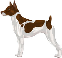 Chocolate & White Rat Terrier