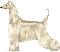 Cream Afghan Hound