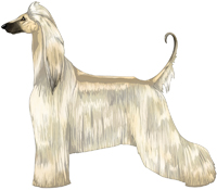Cream with Black Mask Afghan Hound