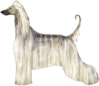 Cream Brindle Afghan Hound
