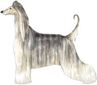 Cream Brindle Domino Afghan Hound