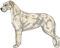 Cream Irish Wolfhound