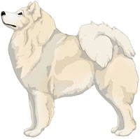 Cream Samoyed