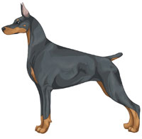 Blue and Rust Doberman Pinscher