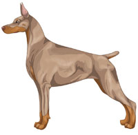 Fawn and Rust Doberman Pinscher