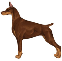 Red and Rust Doberman Pinscher