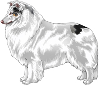 Double Dilute Blue Merle Rough Collie