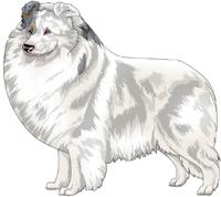 Double Merle Shetland Sheepdog