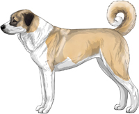 Fawn and White Anatolian Shepherd