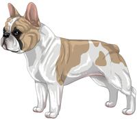 Fawn & White French Bulldog