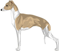 Fawn and White Italian Greyhound