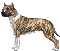 Fawn Brindle & White American Staffordshire Terrier