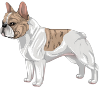 Fawn Brindle & White French Bulldog