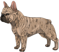 Fawn Brindle French Bulldog
