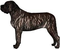 Fawn Brindle Mastiff