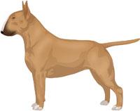 Fawn Bull Terrier