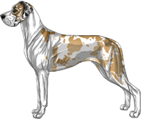 Fawn harlequin mantle Great Dane