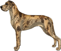Fawn merle Great Dane