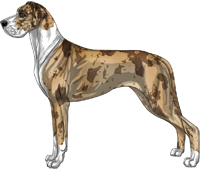 Fawn merle mantle Great Dane