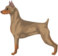 Fawn Miniature Pinscher