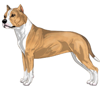 Fawn Sable and White American Staffordshire Terrier