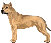 Fawn Sable American Staffordshire Terrier