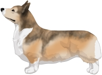 Fawn with Sabling Pembroke Welsh Corgi
