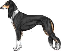 Black and Tan Irish Feathered Saluki