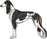 Black and Tan Parti Feathered Saluki