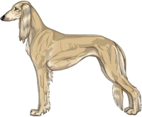 Fawn Feathered Saluki