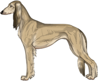 Fawn Sable Feathered Saluki