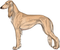 Golden Feathered Saluki
