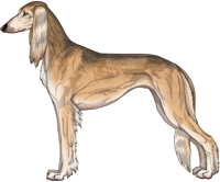 Golden Grizzle Feathered Saluki