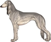 Silver Sable Feathered Saluki