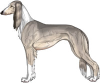 Silver Sable Irish Feathered Saluki