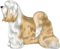 Gold and White Tibetan Terrier